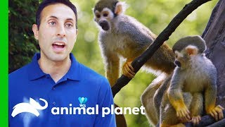 Download Moving Adorable Baby Squirrel Monkeys to 'Monkey Island' | The Zoo Video