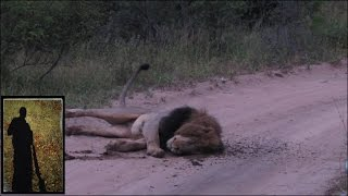 Download Roaring male Lion rolls in Buffalo dung Video