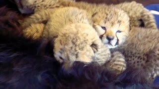 Download Five Tiny Cheetahs Find an Unlikely Mom Video