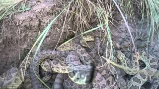 Download GoPro falls into pit of Rattlesnakes Video