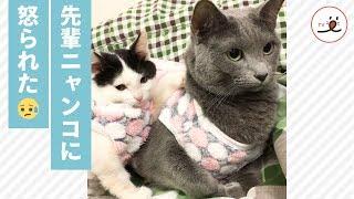 Download 先輩ニャンコに喝を入れられた子猫😟 しょんぼり顔が可愛すぎる❤️【PECO TV】 Video