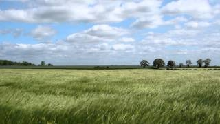 Download A Cotswold barley field blowing in the breeze Video