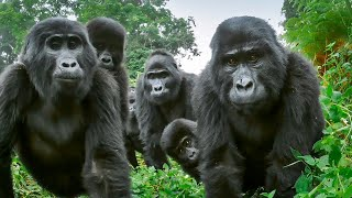 Download Spy Gorilla Comes Face To Face With Alpha Silverback | BBC Earth Video