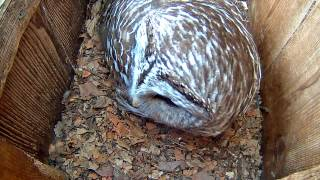Download ″Who Cooks For You″ Morning Duet On Barred Owl Cam – Apr. 4, 2017 Video