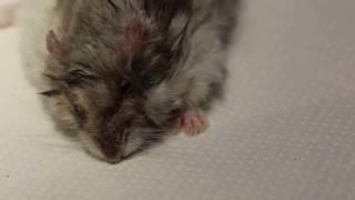 A 3-legged dwarf hamster has one ear wart and 3 skin warts