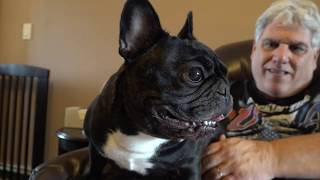 Download Meet The Breeds: French Bulldog Video