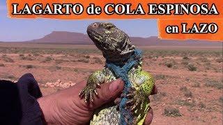 Download Liberación de lagarto de cola espinosa en lazo y reflexión, Marruecos Video