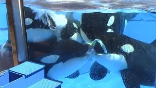 Download Killer Whale Jello Enrichment at SeaWorld Orlando (5/22/17) Video