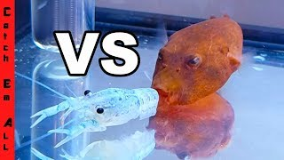 Download BLUE LOBSTER vs RED PUFFER FISH! Video