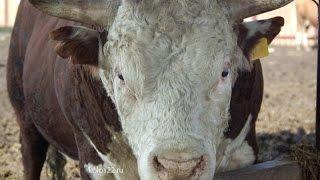 Download Лучшие в мясном скотоводстве - хозяйства ″Колос″ и ″Лебяжье″ Алтайского края Video