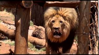 Download Dead Lion Walking: Canned Hunting in South Africa Video