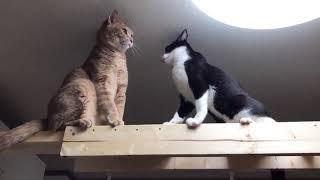 Download しつこい猫にやり返す猫 Video