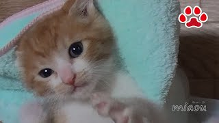 Download 8日目。子猫まやを救出に向かう猫達 【瀬戸のまや日記】 Day8 Cats were headed to rescue the kitten Chipie and Maya Video