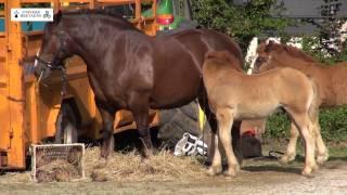 Download Concours du cheval breton à Ploudaniel, le samedi 13 juin 2015 Video