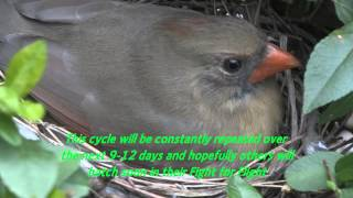 Download Cardinal 3 hours after hatching Video