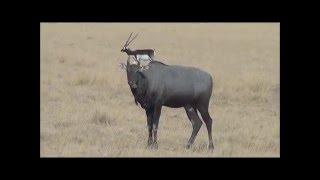 Download Nilgai (Blue bull) Velavadar Gujarat India 27/03/2016 Video