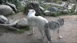 Download Wolf Exhibits are sensitive to noise and disturbance Video