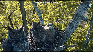 Download Dad To The Rescue! Great Horned Owl nest Charlo, MT May 15, 2017 Video
