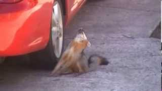 Download Rabid Fox Video