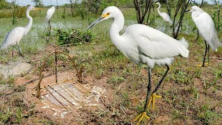 Download Bird Trap Technology - Awesome Quick Survival Snare Egret Bird Trap Work 100% Video