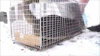 Download Feral Cat goes crazy! Stray Feral Cat Trapping Trap-Neuter-Return Video