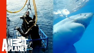 Download Great White Snaps Cage in Half | World's Scariest Animal Attacks Video