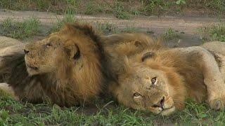 Download Birmingham Male Lions SafariLIVE AM 03/21/16 Video
