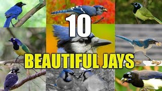 Download 10 Strikingly Beautiful Jays From Around The world Video