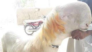 Download Mundra Chatra raat wali video 03037003864محمد صابر گوٹ فارم ڈیرہ غازی خان Video
