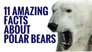 Download Animal Facts And Information | 11 Interesting Facts About Polar Bears Video