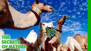 Download Libyan Sahara Water from the Desert - The Secrets of Nature Video