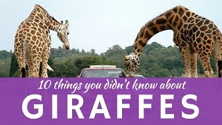 Download 10 fun facts about GIRAFFES (presentation of the tallest animals) Video