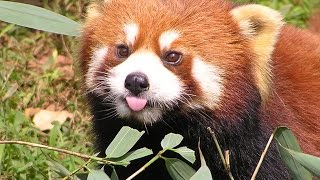 Download Funny red panda compilation Video