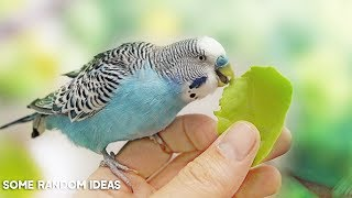 Download How to get your Bird to eat Veggies or Fruits Video
