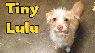 Download Dog Rescue: Tiny Lulu; hit by a car. Video