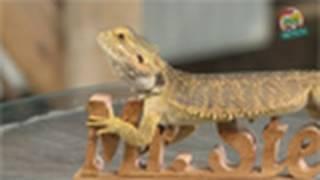 Download Reptil.TV - Folge 26 - Bartagamen Basics Video