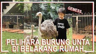 Download Keep an Ostrich on my Backyard..!! Video