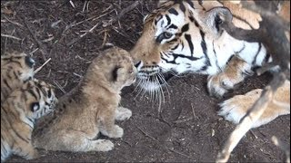 Download Tigress raises lion cub - hunt together when adults. Help save lions and tigers. Share our post Video
