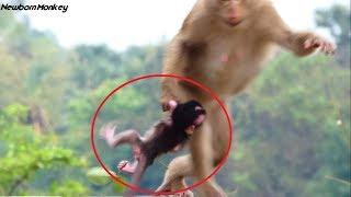 Download Pity! Why female monkey Bonita kidnap newborn baby monkey Nanda so nasty like this, Samnnag kh Video