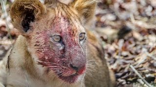 Download paraplegic lion cub struggle to survive مشلول شبل الأسد Video