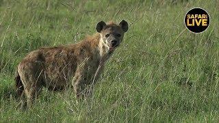 Download safariLIVE - Sunset Safari - January 23, 2019 Video