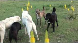 Download Tajik shepherd dogs in the wild Video