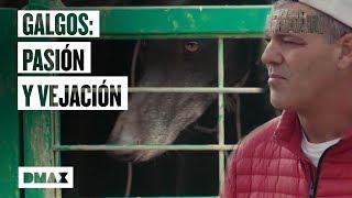 Download Así es la situación de los galgos en España Video