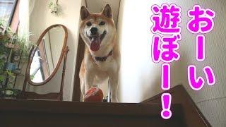 Download 柴犬小春 お掃除にしつこく着いて回る柴犬はやっぱりツンデレ!ってオイ! Video