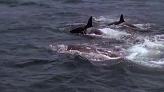 Download Killer Whales Target Prey | Killer Whale | BBC Video