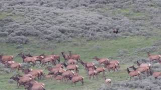 Download Grizzly Bear Chases Elk in Yellowstone NP Video