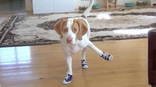 Download Funny Dogs in Boots 2014 [NEW HD] Video