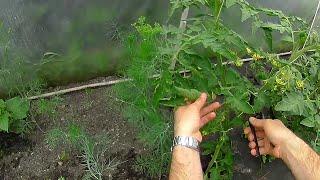 Download Pomidory i Papryki 8 - TUNEL - ciecie liści pomidorów Video