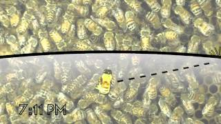 Download The Waggle Dance of the Honeybee Video