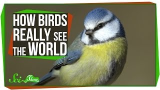 Download How Birds Really See the World Video
